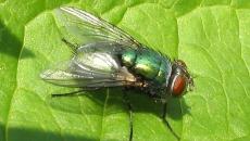 Diptera_02gg_edit