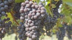 Da casca e da semente da uva é obtido o extrato que evita a oxidação da carne