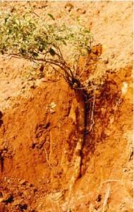 Os estudos da FMVZ com a <i>Pfaffia paniculata</i> são pioneiros no Brasil