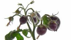 Tomate roxo não transgênico é desenvolvido no Cena/Esalq da USP