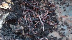 Aplicação de vermicomposto reteve 100% do cobre, do cromo e do chumbo presentes em solos arenosos e argilosos