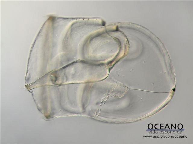 Larva tornária
